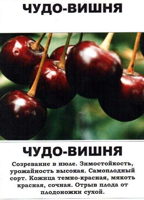 Сорт вишни «Чудо вишня»