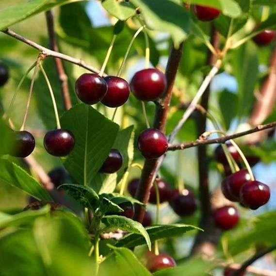 Сорт вишни «Харитоновская»