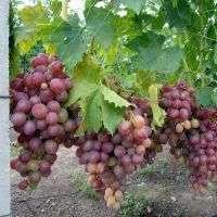 Сорт винограда «Преображение»