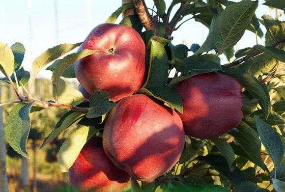Сорт яблони «Ред Чиф»