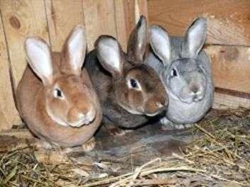 Порода кроликов «Рекс»