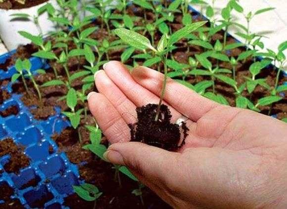 Как выращивать рассаду перца в домашних условиях