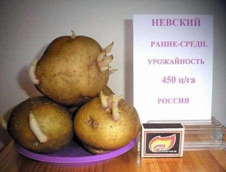 Сорт картофеля «Невский»