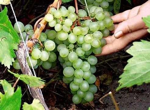 Сорт винограда «Лора»
