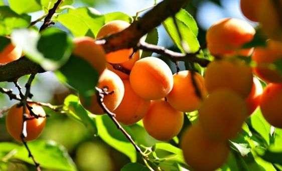 Сорт абрикоса «Ананасный»