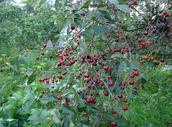 Сорт вишни «Шоколадница»