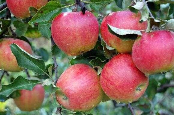 Сорт яблок «Слава победителям»
