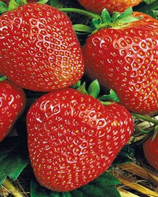 Сорт клубники «Кимберли»