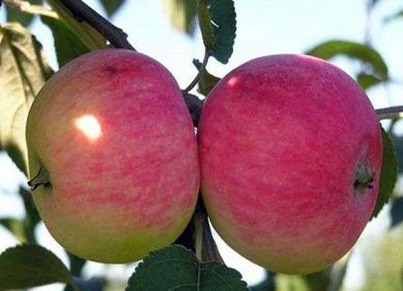 Сорт яблок «Мельба»