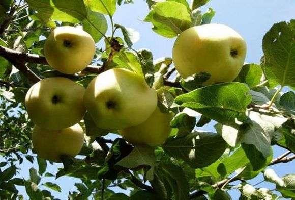 Сорт яблок «Белый налив»