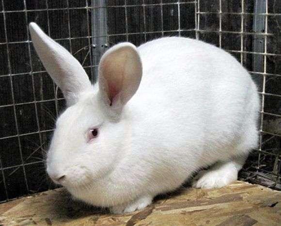 Порода кроликов «Белый великан»
