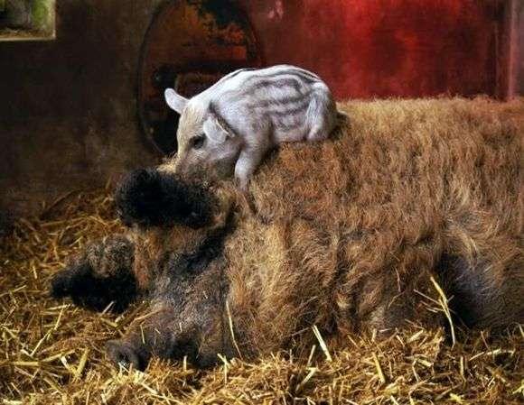 Порода свиней «Мангал»