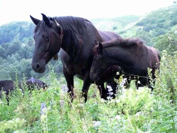 Порода лошадей «Карачаевская»