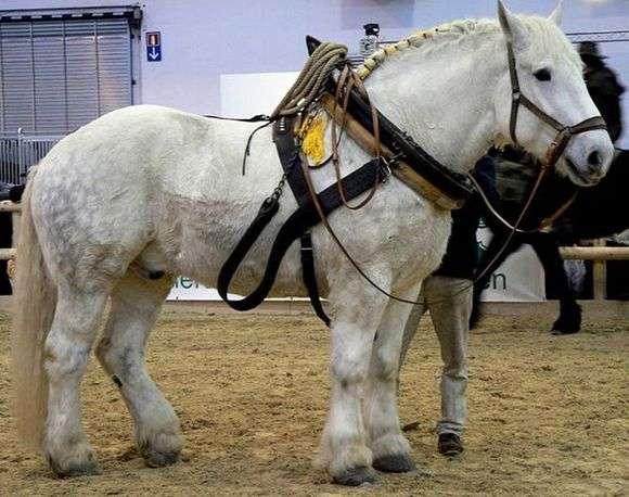 Порода лошадей «Першерон»