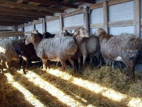 Курдючная порода овец
