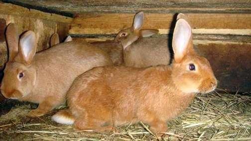 Новозеландская порода кроликов