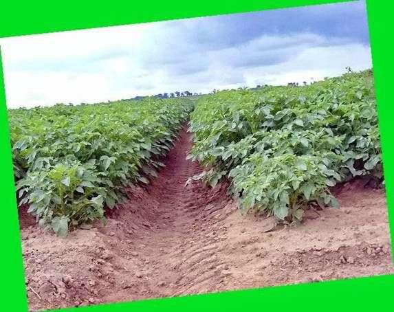 Сорт картофеля «Белорусский»