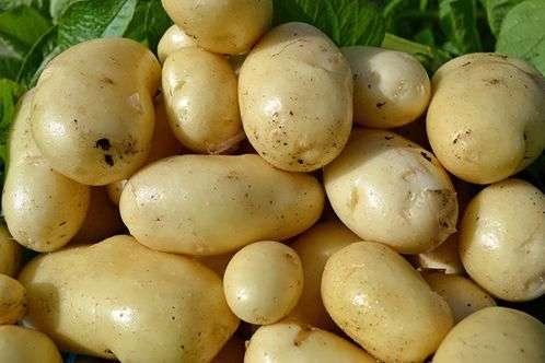 Сорт картофеля «Импала»