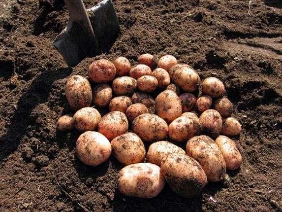 Сорт картофеля «Аврора»