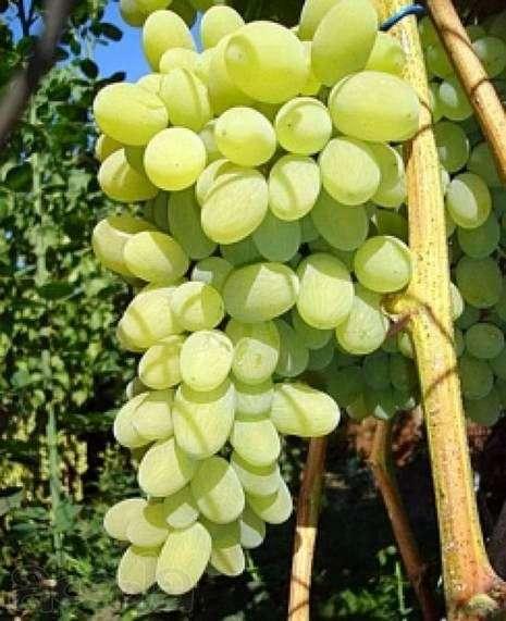 Сорт винограда «Августин»