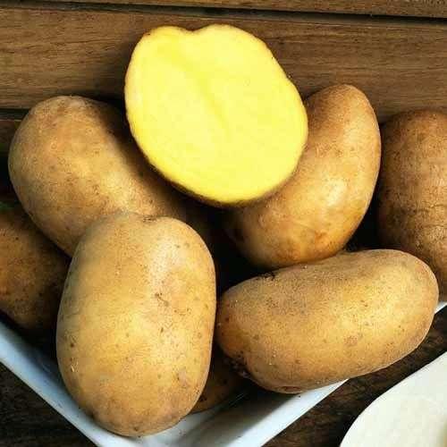 Сорт картофеля «Голубизна»