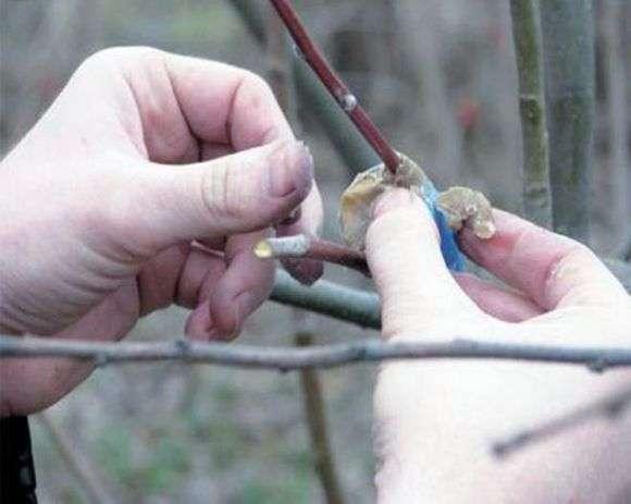 Как приготовить садовый вар своими руками