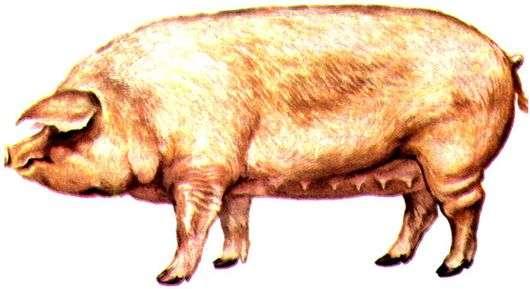 Уржумская порода свиней