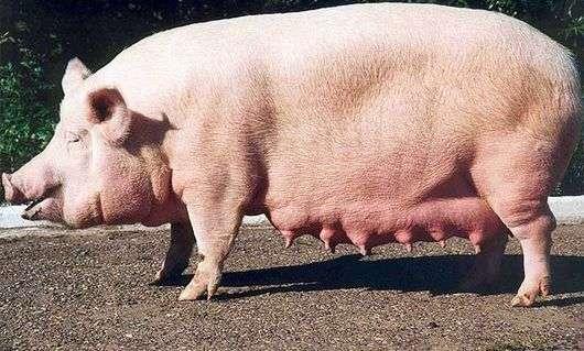Порода свиней «Украинская степная белая»