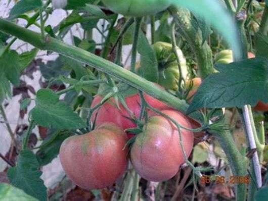 Сорт томатов «Мазарини»