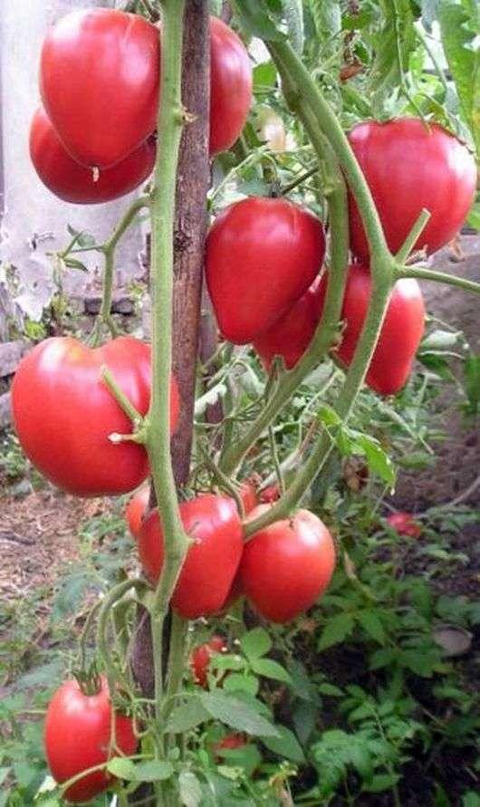 Сорт томатов «Чудо земли»