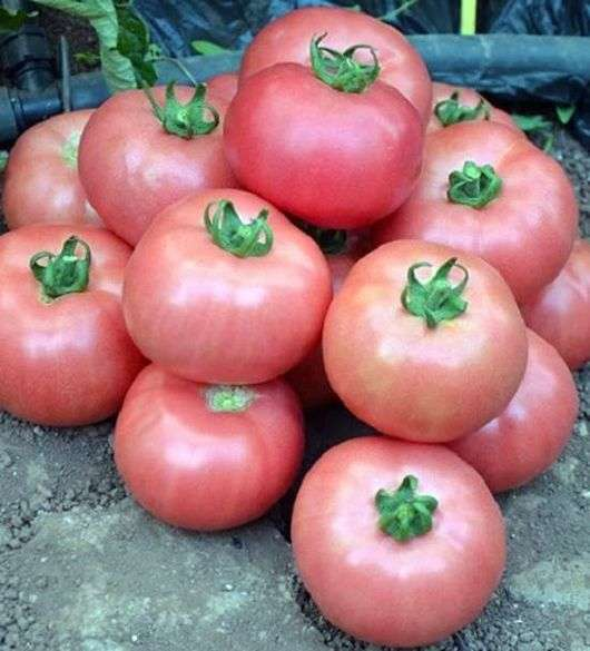 Сорт томатов «Дикая роза»