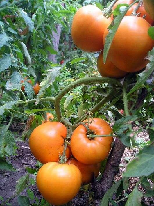 Сорт томатов «Медовый спас»