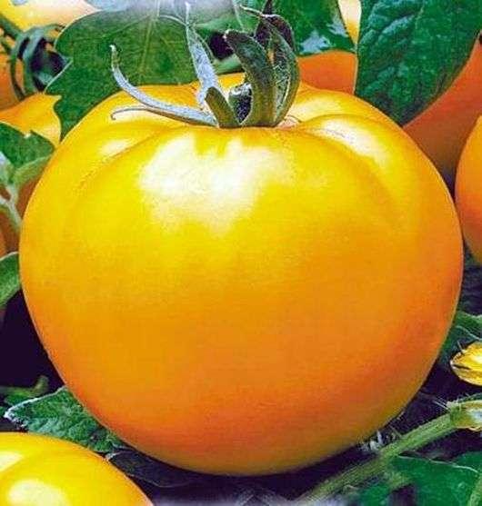 Сорт томатов «Апельсин»