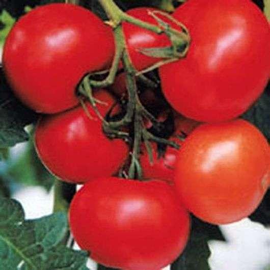 Сорт томатов «Евпатор»