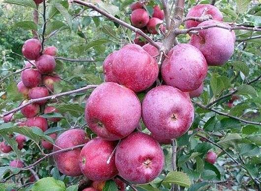 Сорт яблок «Флорина»