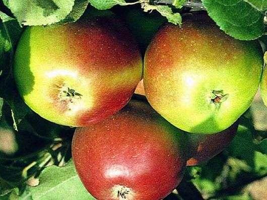 Сорт яблок «Уэлси»
