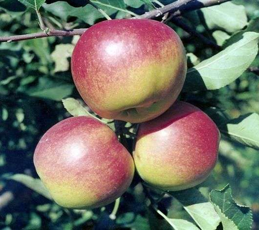 Сорт яблок «Джонаголд»