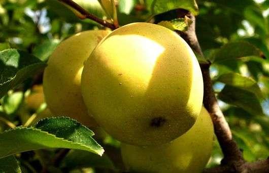 Сорт яблок «Голден Делишес»