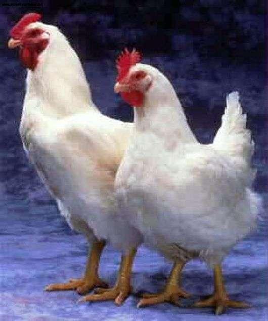 Порода кур «Корниш»