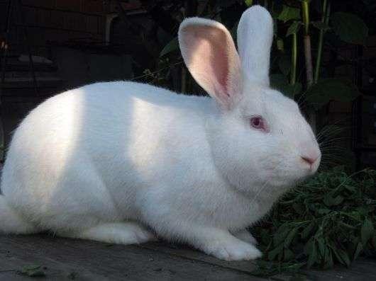 Порода кроликов «Паннон белый»