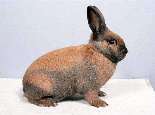 Тюрингенская порода кроликов