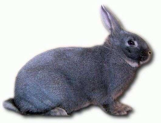 Порода кроликов «Белка»