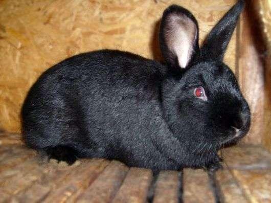 Кролики породы «Аляска»