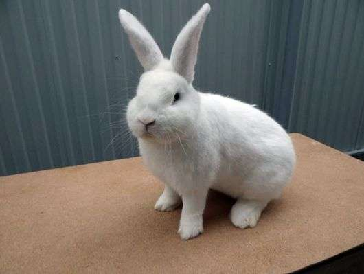 Венская порода кроликов