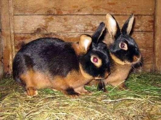 Черно бурая порода кроликов