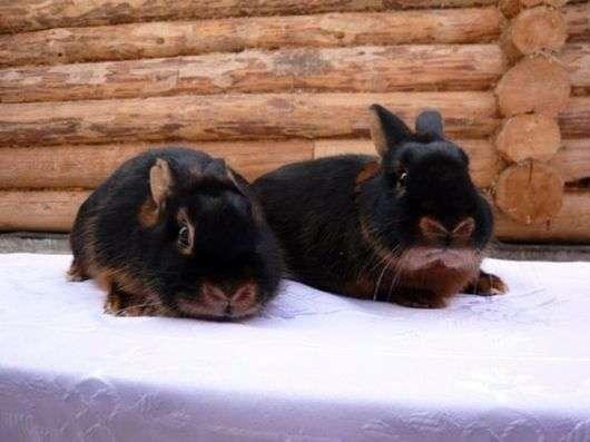 Черно огненная порода кроликов