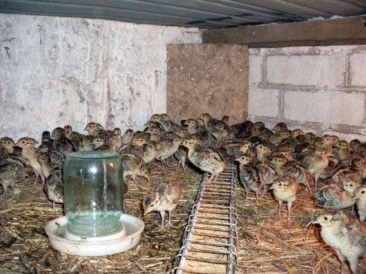 Содержание фазанов