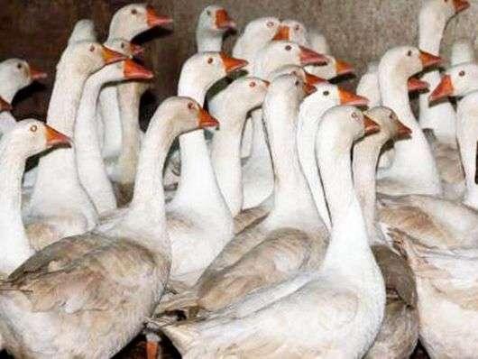 Эмденская порода гусей