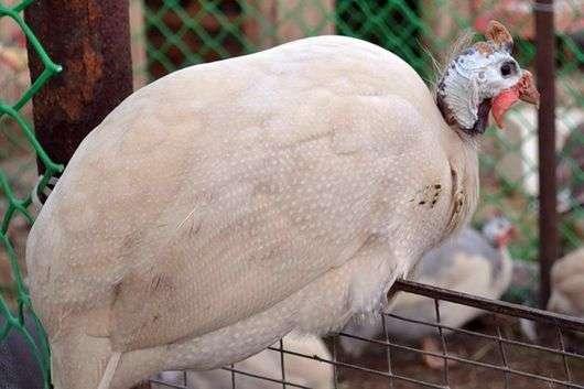 Сибирская белая порода цесарок