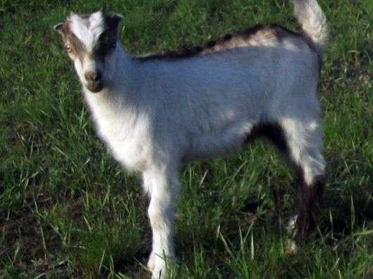 Порода коз «Ла Манча»